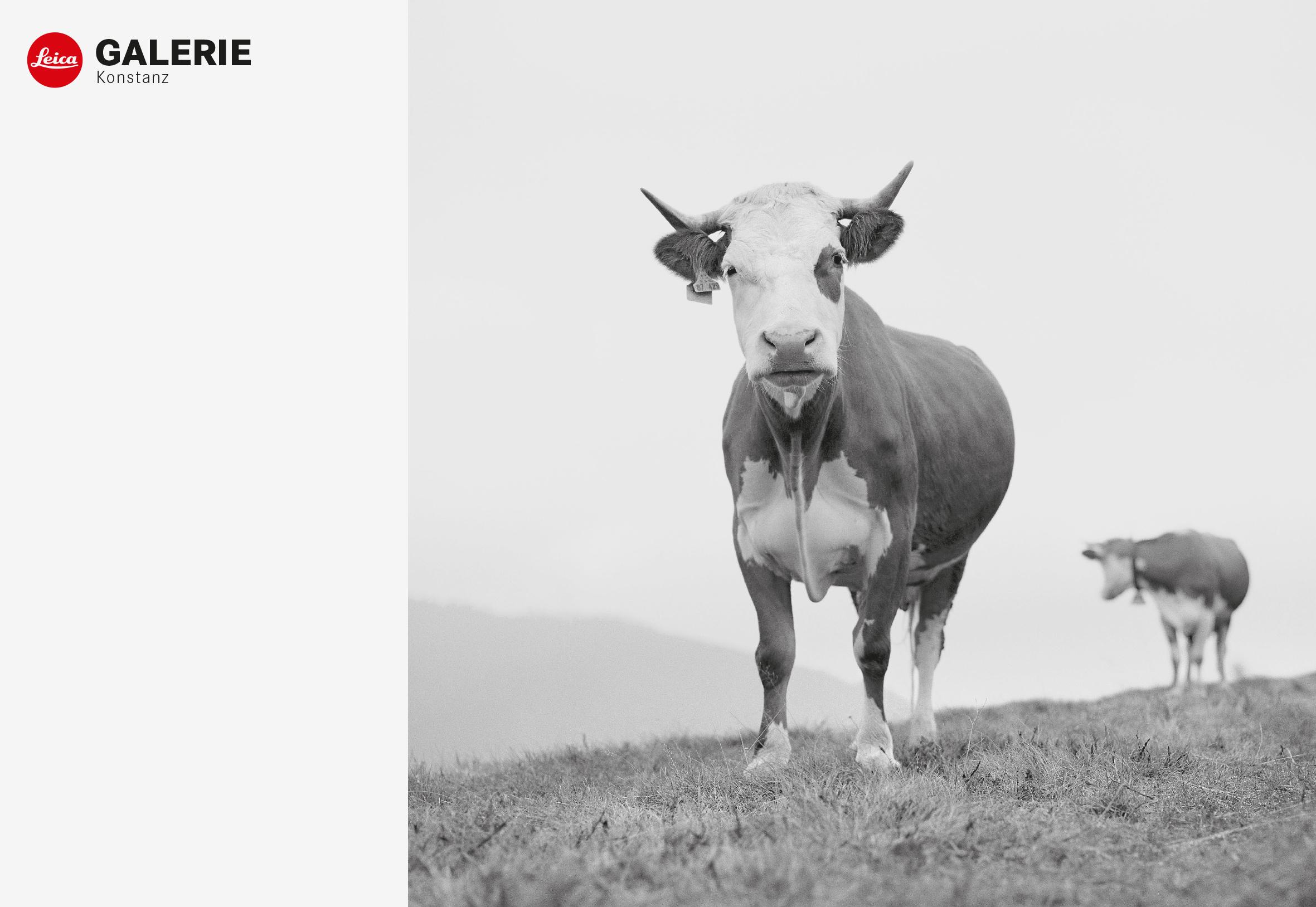 """Ursula Böhmer """"Die Kuh – eine Feldforschung"""""""
